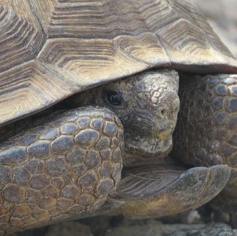 Sonornal Desert Tortoise photo