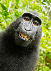 Monkey selfie in dispute/ from Wikimedia Commons