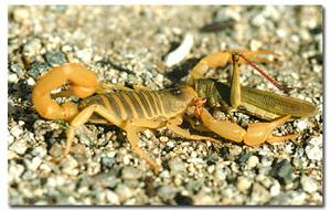 Hadrurus arizonensis pallidus  These are the largest scorpions found in the United States.