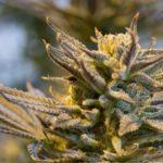 Scottsdale to vote on longer hours for medical marijuana dispensaries